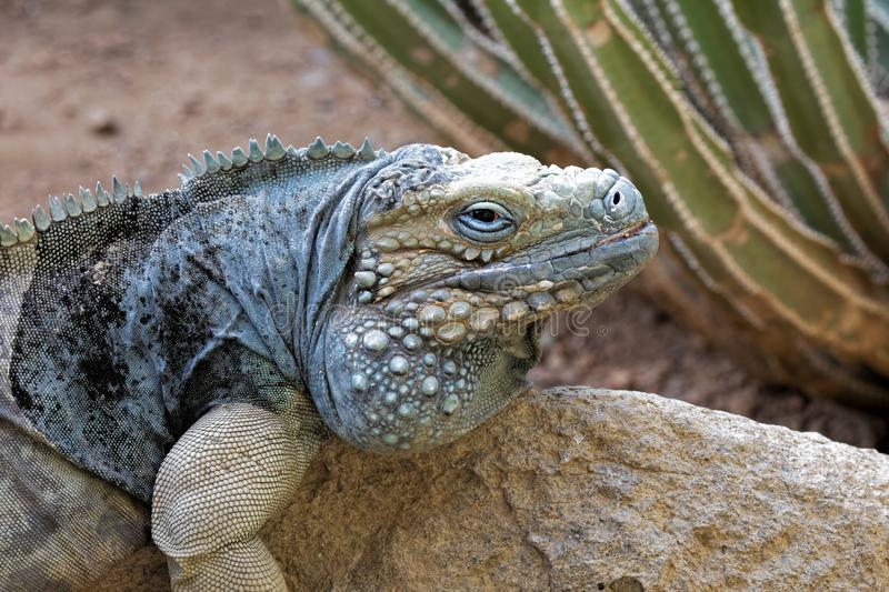 Grand Cayman Blue Iguana endangered species native to Cayman islands royalty free stock photo