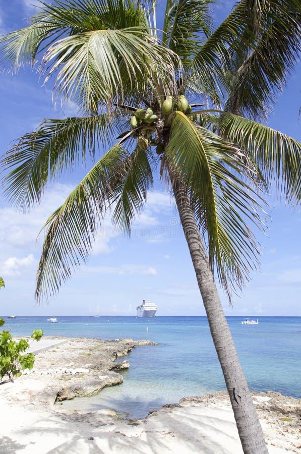 Grand Cayman Island Palm Tree arkivfoto