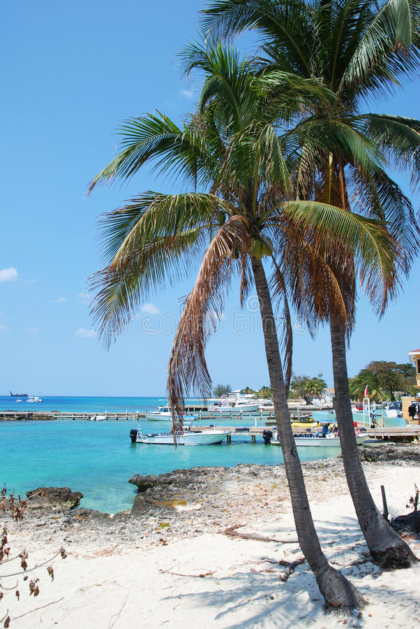 Grand Cayman Palms. Palms growing on Grand Cayman island Seven Mile Beach (Cayman Islands stock photo