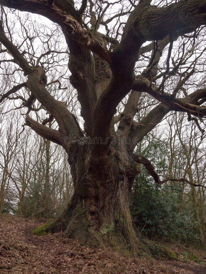 grand chêne à l'intérieur de tronc grand de jour obscurci nu de ressort de forêt images stock