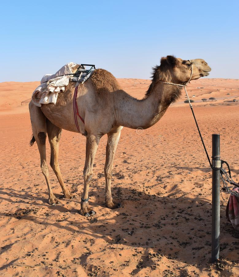 Grand chameau dans le d?sert photos stock