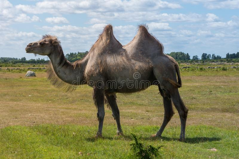 Grand chameau masculin marchant dans un domaine par beau temps d'été photo stock