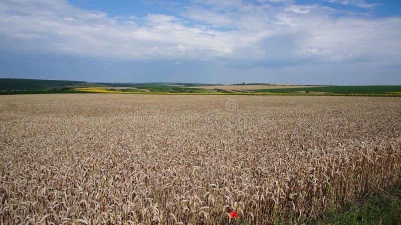 Grand champ de blé clips vidéos
