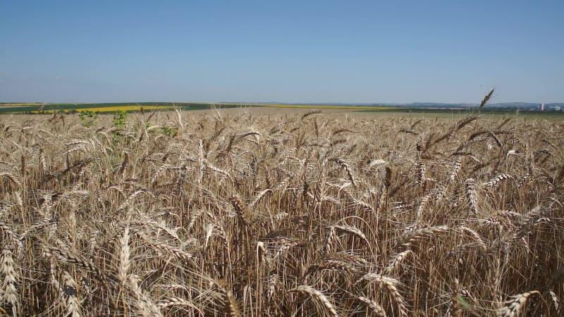 Grand champ de blé banque de vidéos