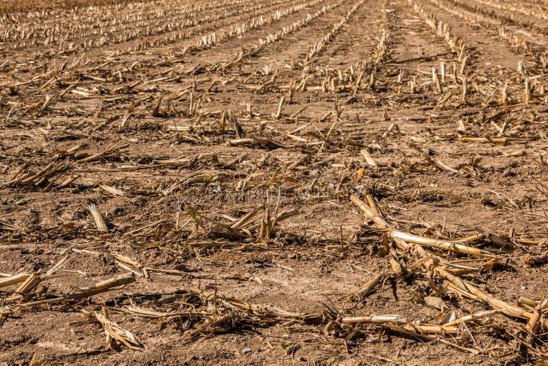 Grand champ de maïs moissonné avec le sol brun images stock