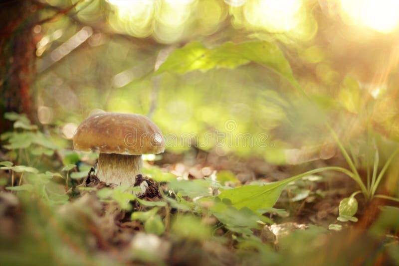 Grand champignon blanc comestible dans la forêt photographie stock libre de droits