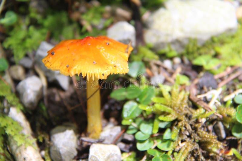 Grand champignon de montagne fumeuse photographie stock