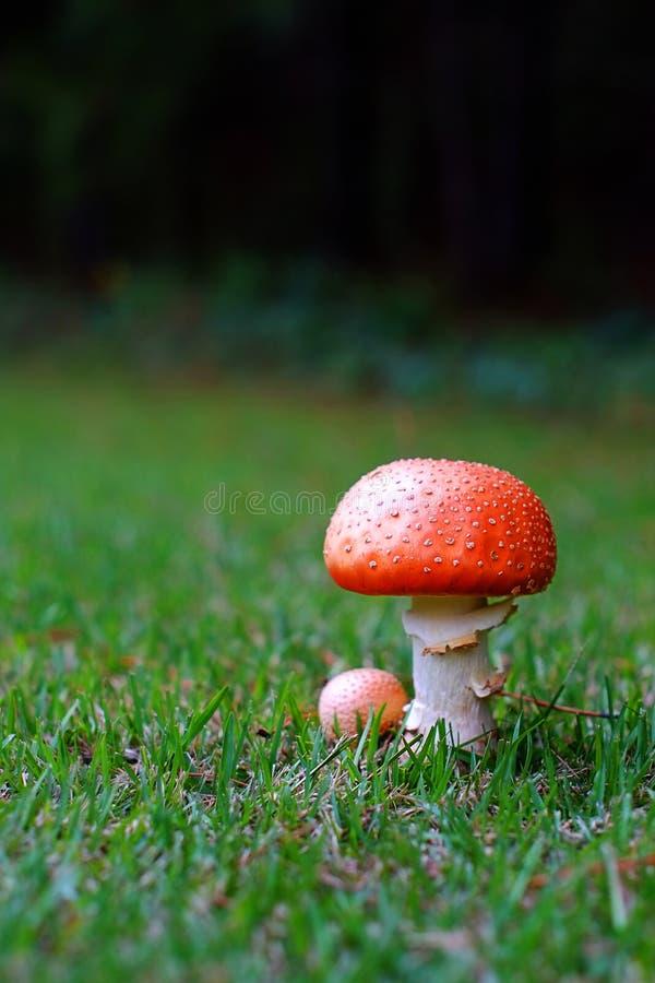 Grand champignon la saison des pluies image stock