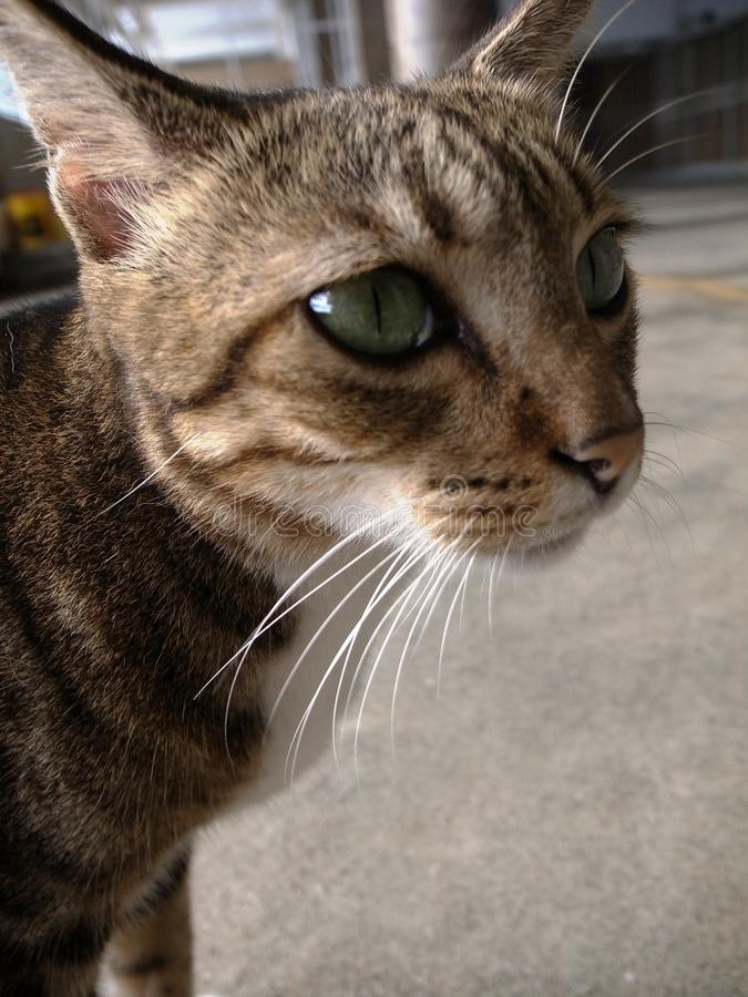 Grand chat d'oeil photo stock