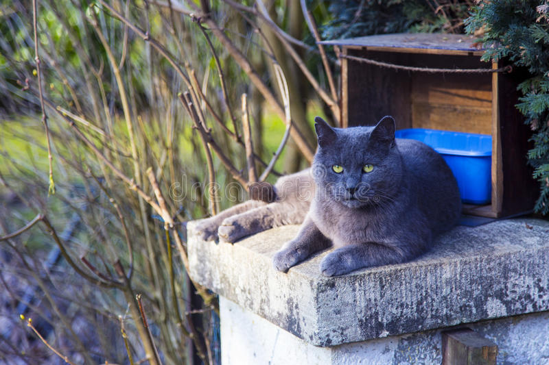 Grand chat de la race bleue russe se reposant dehors images libres de droits