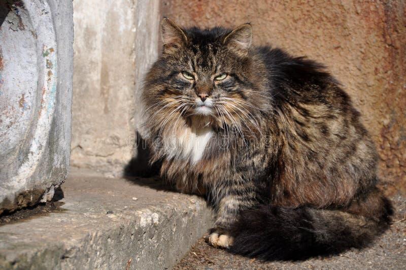 Grand chat pelucheux se reposant sur le porche photographie stock