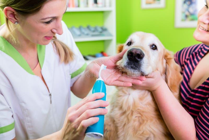 Grand chien atteignant des soins dentaires par la femme le salon de chien photo stock