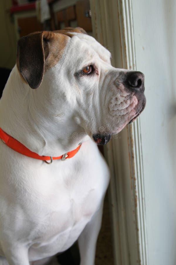 Grand chien blanc photos stock