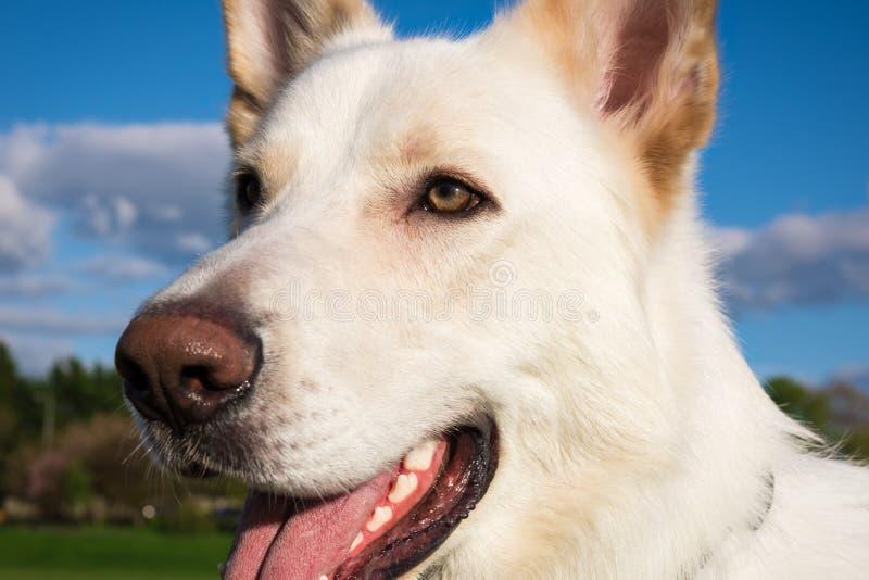 Grand chien blanc magnifique en parc photos stock
