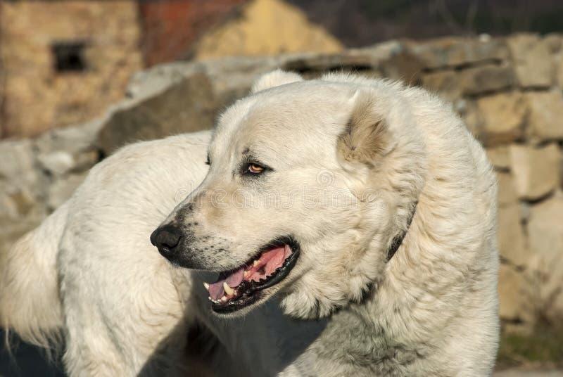 Grand chien de garde blanc photographie stock libre de droits