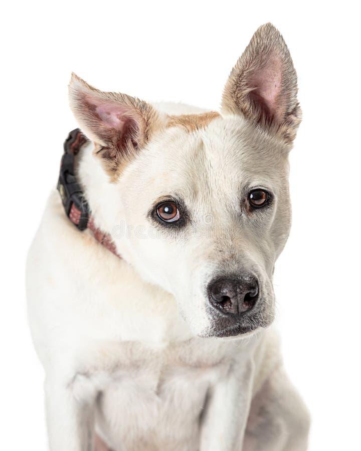 Grand chien de plan rapproché se penchant en avant dans la caméra photo stock