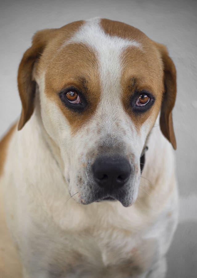 Grand chien de portrait avec de beaux yeux tristes image libre de droits