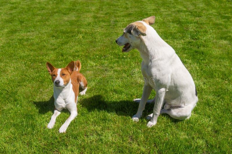 Grand chien de race mélangée regardant vers le bas sur un plus petit basenji tout en se reposant sur une pelouse fraîche image stock