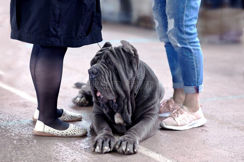 Grand chien de race napolitaine de mastiff, coupe d'oreille de vieille école, s'étendant entre deux paires de jambes de femmes photos libres de droits