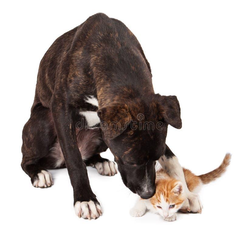 Grand chien jouant avec le chaton images libres de droits