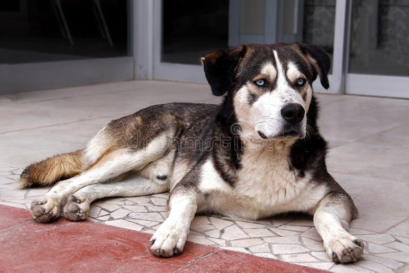 Grand chien noir et blanc de rue avec les yeux blancs Mensonges sur la rue Regards avec les yeux futés photos libres de droits