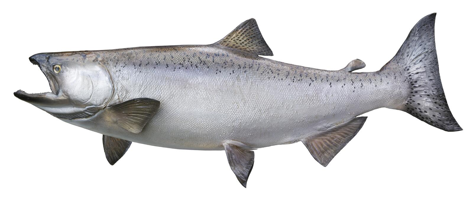 Grand Chinook ou saumon quinte d'isolement sur le blanc photo stock