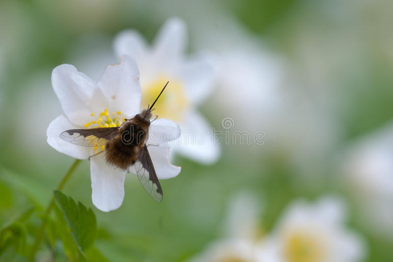 Grand commandant de Bombylius d'Abeille-mouche photographie stock libre de droits