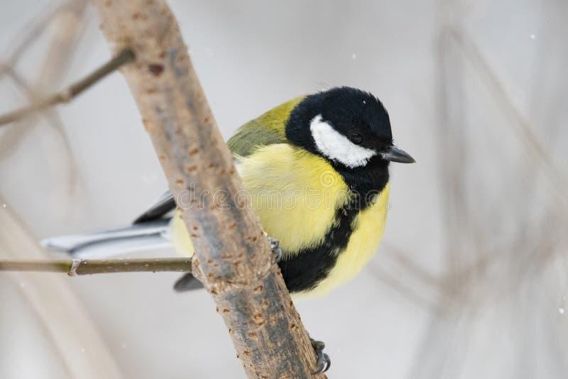 Grand commandant de Parus de mésange - un oiseau de la famille de mésange dans son n image stock