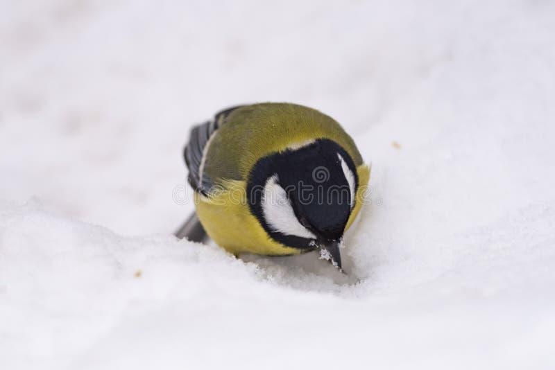 Grand commandant de Parus de mésange - un oiseau de la famille de mésange dans son n photos libres de droits