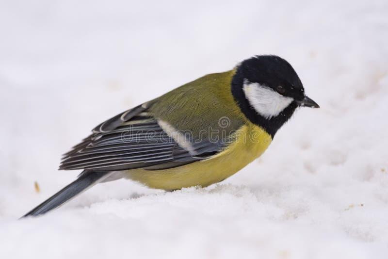 Grand commandant de Parus de mésange - un oiseau de la famille de mésange dans son n photo stock