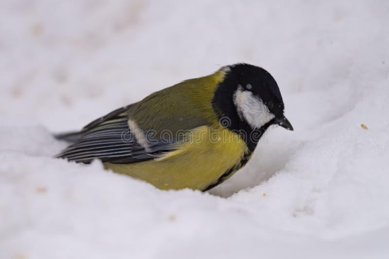 Grand commandant de Parus de mésange - un oiseau de la famille de mésange dans son n photographie stock