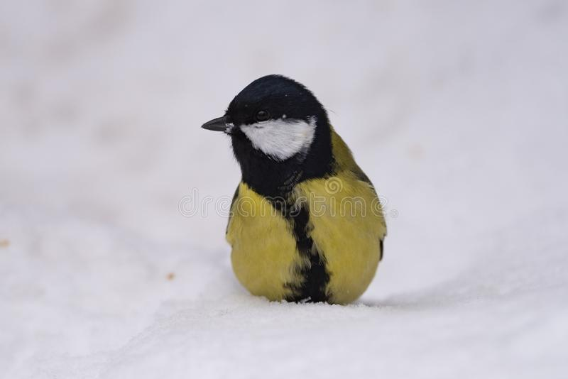 Grand commandant de Parus de mésange - un oiseau de la famille de mésange dans son n photos stock