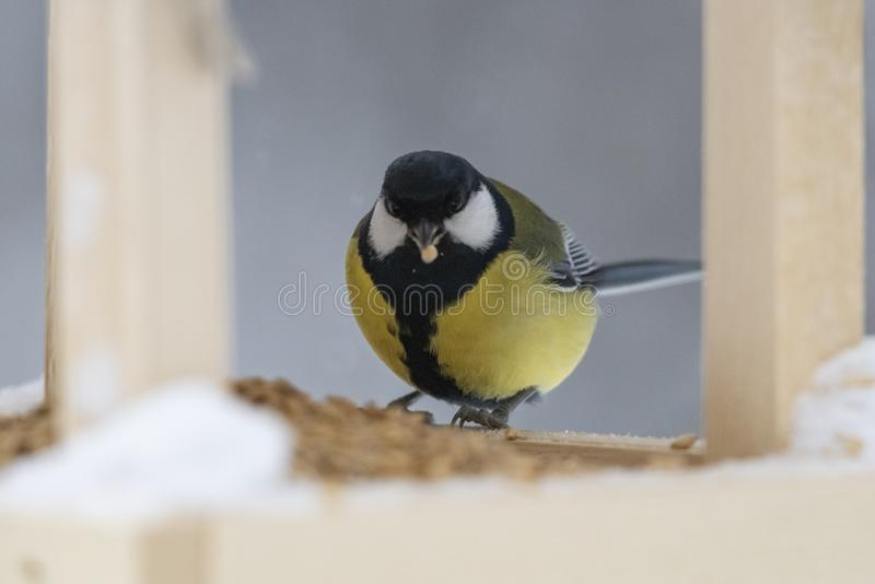 Grand commandant de Parus de mésange - un oiseau de la famille de mésange dans son n photo libre de droits