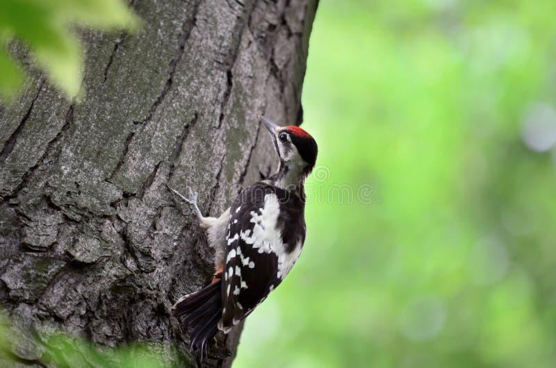 Grand commandant repéré de Dendrocopos de pivert Jeune oiseau images stock