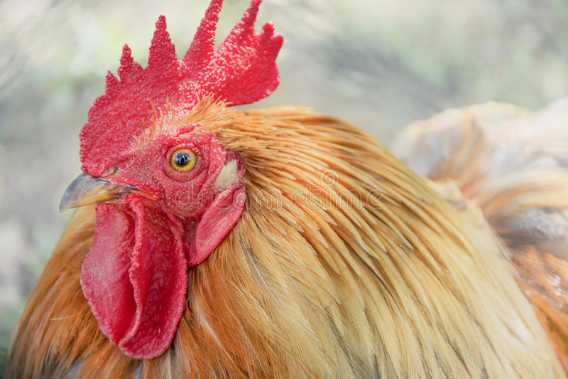 Grand coq colorfful photographie stock