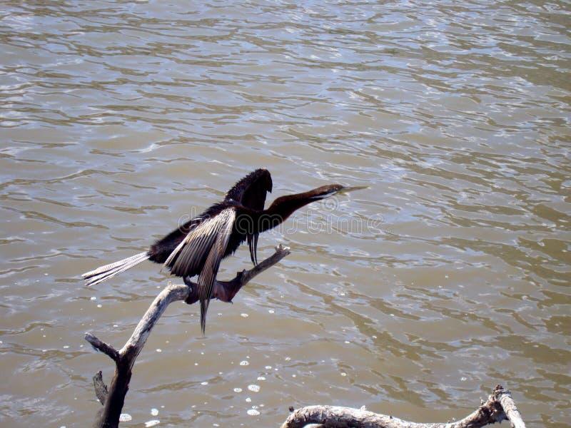 Grand cormoran prêt à attraper photo libre de droits
