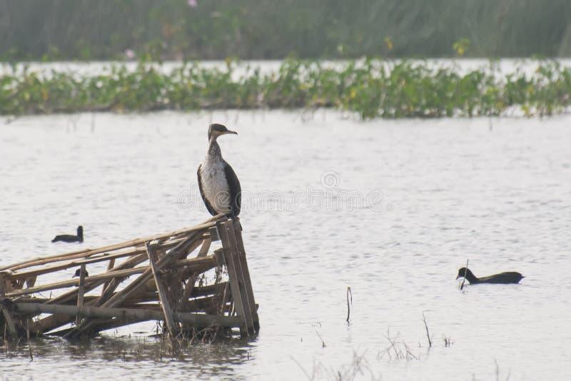 Grand Cormorant étant perché sur la structure en bambou photos libres de droits