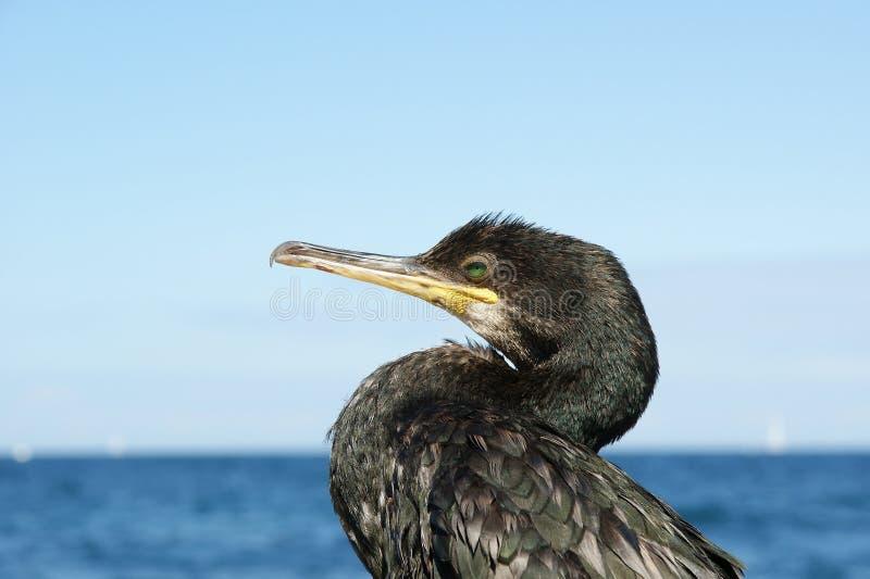 Grand Cormorant (carbo de Phalacrocorax) photos libres de droits