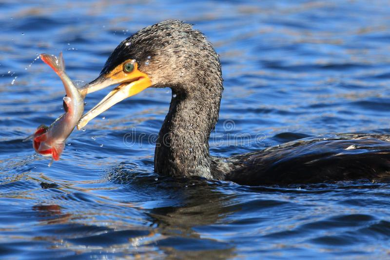 Grand Cormorant / Shag noir en Australasie photos stock