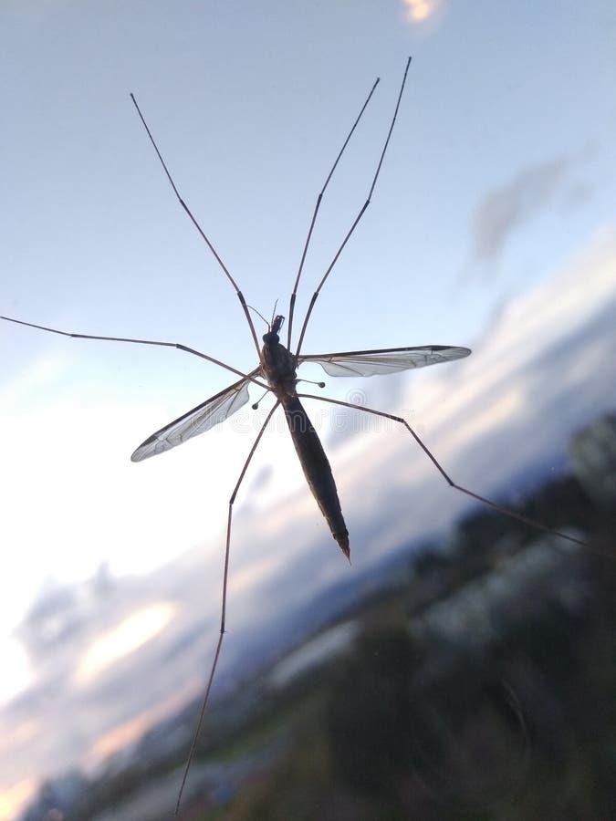 Grand Crane Flies image stock