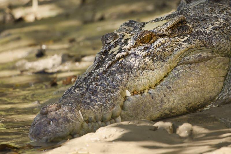Grand crocodile d'eau de mer photographie stock libre de droits