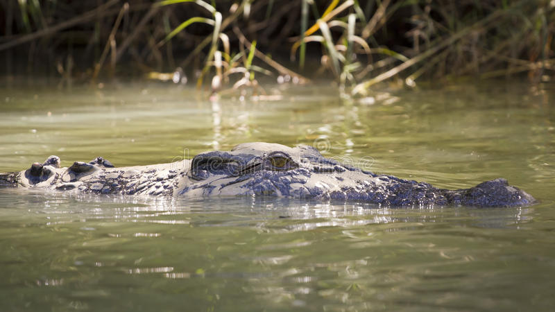 Grand crocodile d'eau de mer photo stock