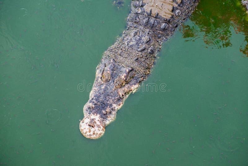 Grand crocodile dans l'étang photographie stock libre de droits