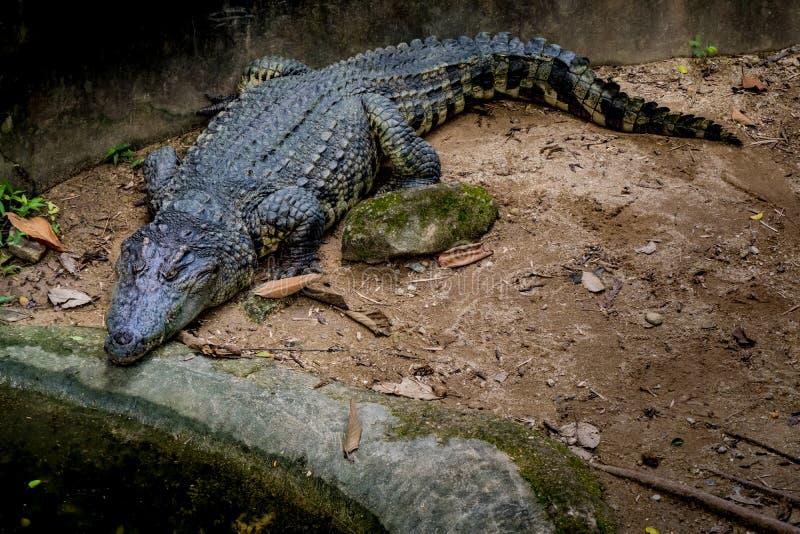 Grand crocodile dans le zoo photos stock