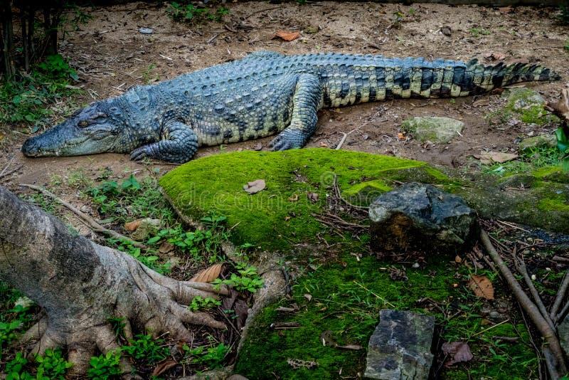 Grand crocodile dans le zoo photographie stock libre de droits
