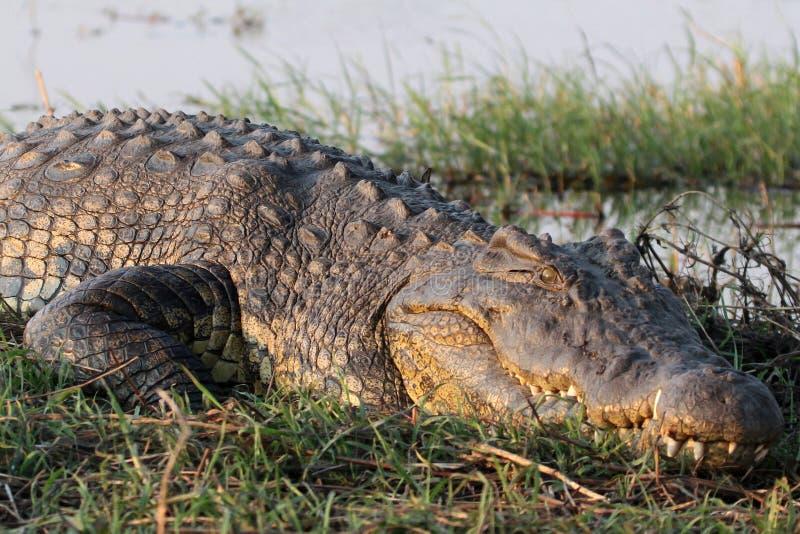 Grand crocodile en Afrique photos stock