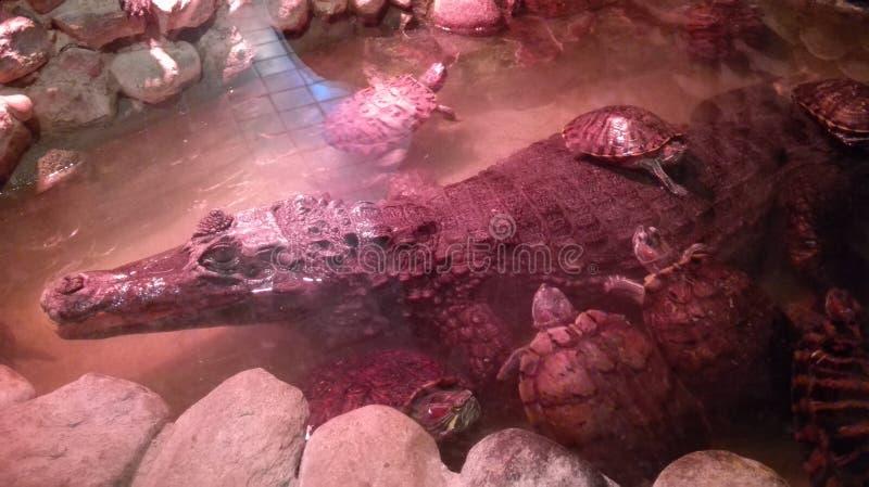 Grand crocodile entouré par des tortues image stock