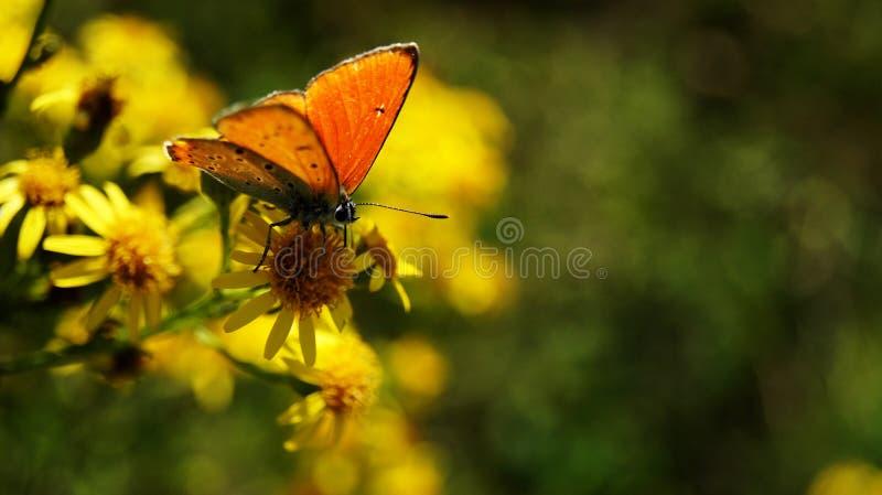 Grand cuivre - papillon photo stock