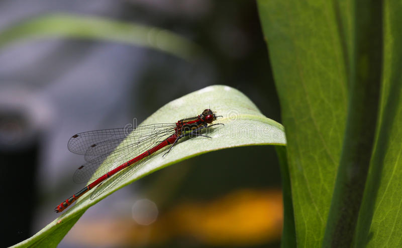 Grand Damsefly rouge (mâle) – nymphula de Pyrrhosoma photographie stock libre de droits