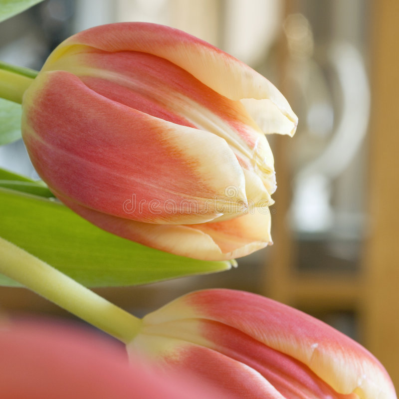 Grand dos jaune-orange de tulipes photo libre de droits